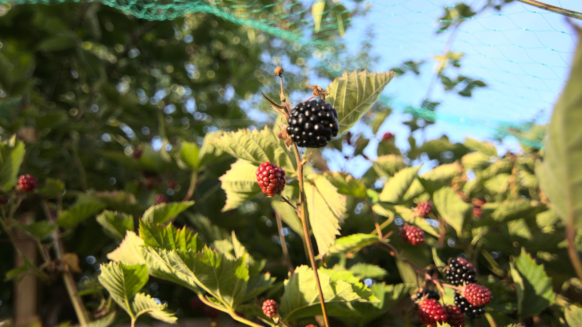 Black Berry II
